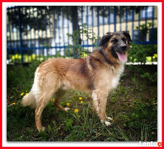 1,5roku, duży,40kg,łagodny, towarzyski,szczepiony pies LEON.