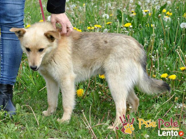 SABBIO-niewielki, kudłaty, prze-kochany kremowy psiak-1 rok-