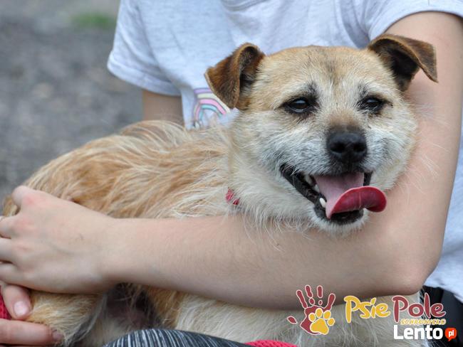 TRĄBEK-wesoły, radosny, energiczny młody psiak-mały szorścia