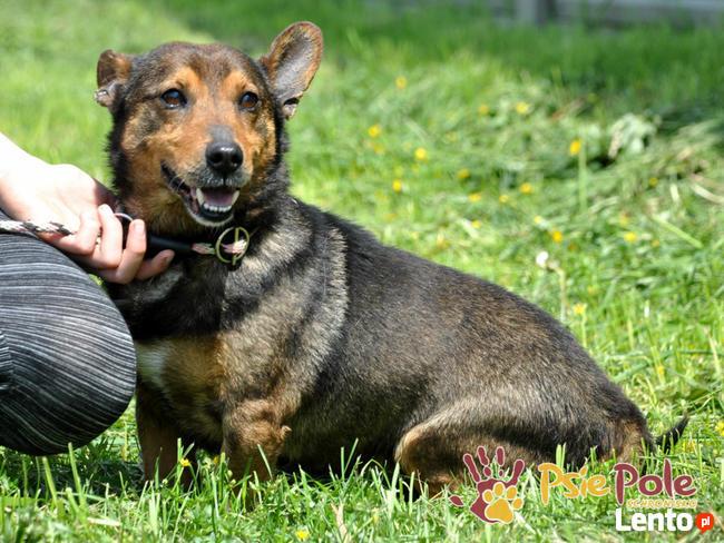 TOPUŚ-spokojny, grzeczny, miły niewielki psiak-5 lat-ADOPCJ