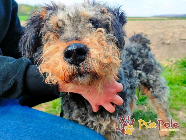 EUGENI-Piękny terierek szuka domu -adopcja