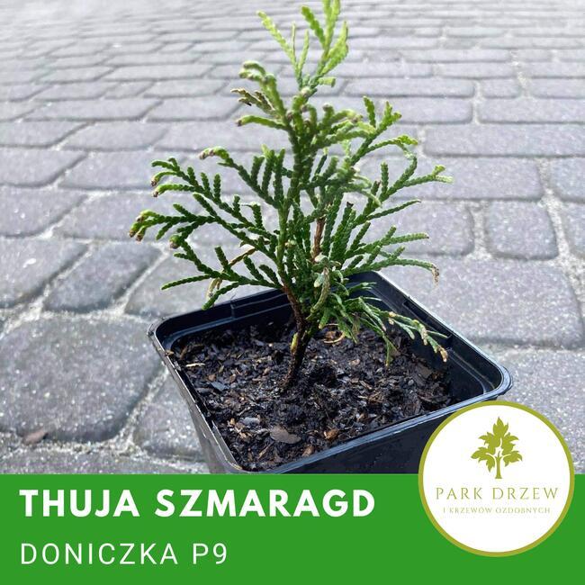 Thuja smaragd, tuja szmaragd P9 doniczka, donica, transport