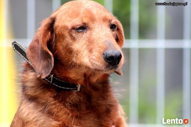 Herbuś- sympatyczny psiak w typie jamnika