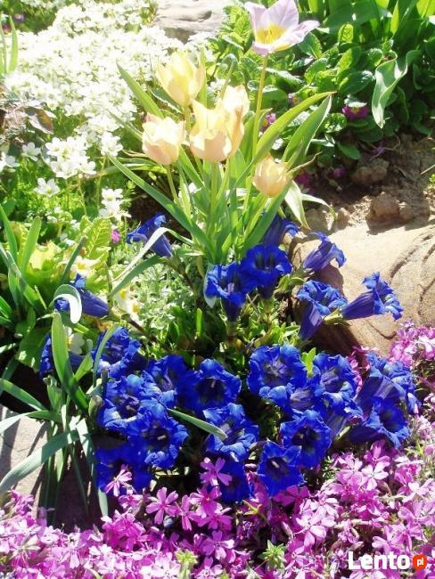 sadzonki kwiatów wieloletnich - mrozoodpornych