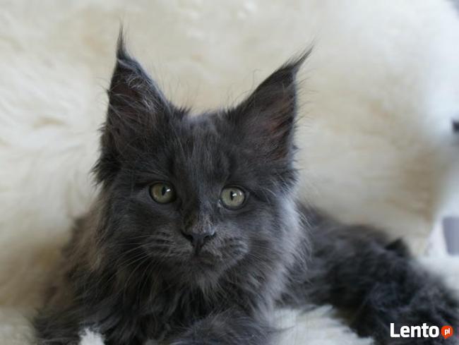 Wspaniałe kocięta maine coon