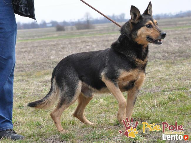 ADMIRAŁ - Piękny pies w typie owczarka niemieckiego do adopc