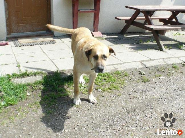 pies do adopcji - Pies gowin szuka domu