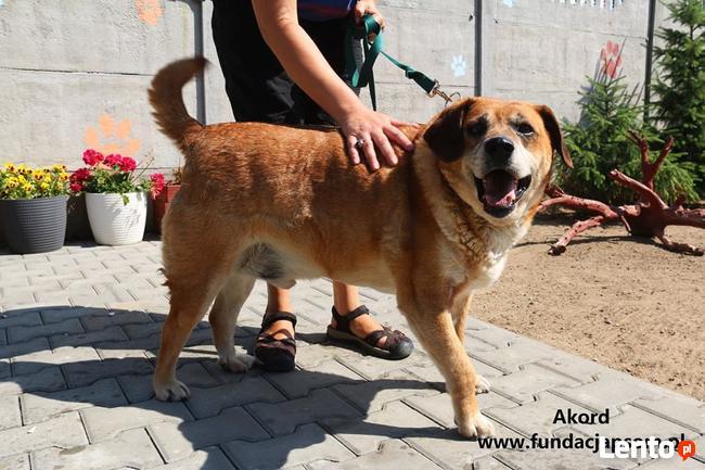 Akord - średni pies