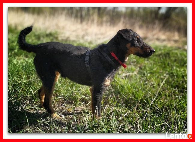 jagdterier mix, średni,przyjazny pies do spokojnego domu,