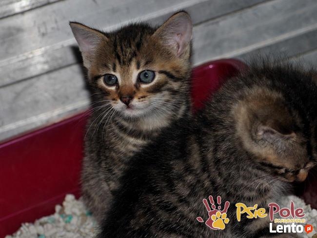 AKSAMITEK-kochany, maleńki słodki kociak-7-8 tygodni-adopcja