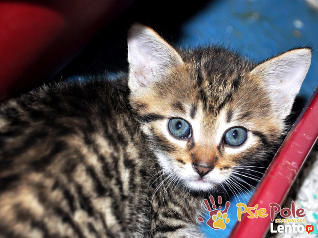 NARCYZEK-super kochany, wspaniały, piękny kociak-7 tygodni-