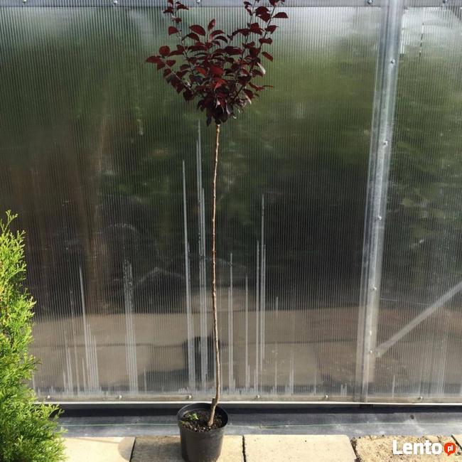 Śliwa wiśniowa PISSARDII 130-160 cm sadzonka WYSYŁKA