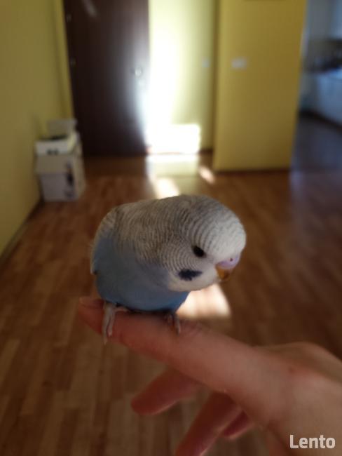 Sprzedam młode papużki faliste