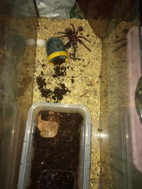 Sprzedam pająk ptasznik i akwarium 6 katne około 80 litrów