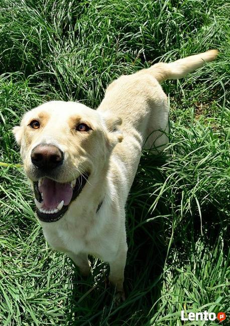 Horan pies do adopcji Son.Przyj