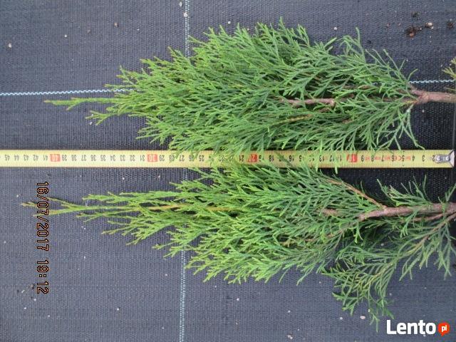 thuja smaragd p9 1,8 zł !! 40 cm