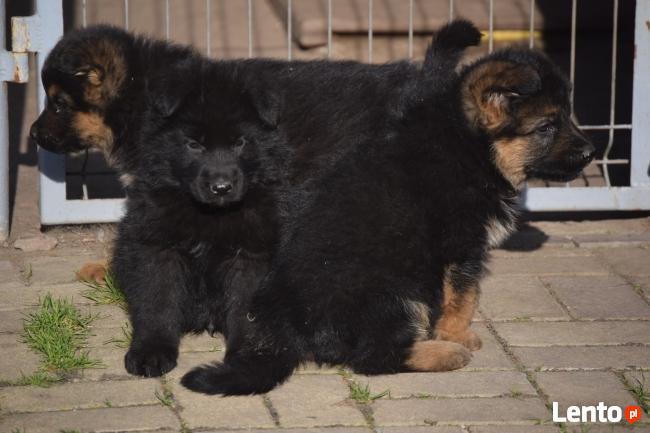 szczeniaki owczarek niemiecki