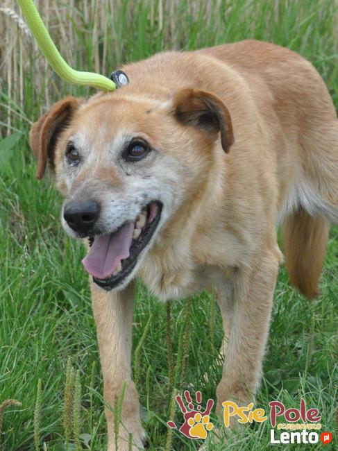KARUŚ-starszy rudy psiak-5 lat w schroniskach, prosimy o dom