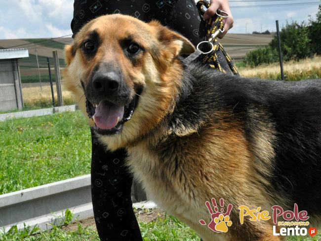 ORIO-przepiękny młody owczarek niemiecki z urazem łapki,ADOP
