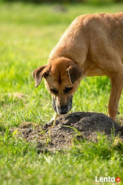 Pluto przepiękny, lubiący dzieci pies szuka domu