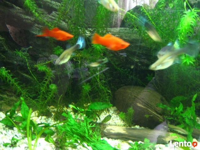 Rybki akwariowe gupiki, krewetki, roślinki