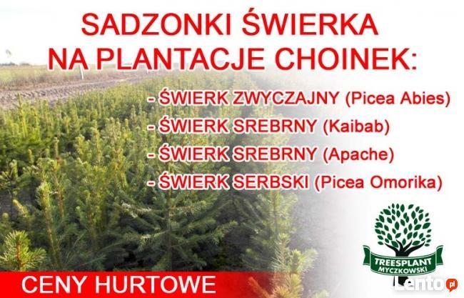 Świerk Pospolity PICEA ABIES 2/1 25-50 cm Producent HURT !!