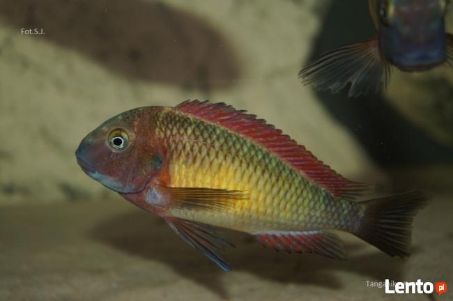 Ryby Tanganika Tropheus Moorii Kasanga Red Rainbow
