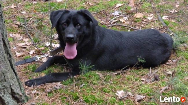 Bleki pies z charakterem w typie labka szuka odpowiedzialneg