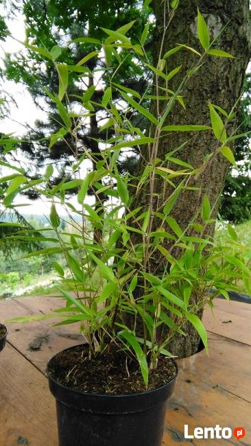 Sadzonki Bambusów Mrozoodporne Drzewiaste Kępowe Odmiany