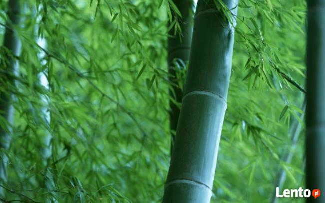 Bambusy Kraków Bambus Great Wall Rufa Grune Hecke Pingwu