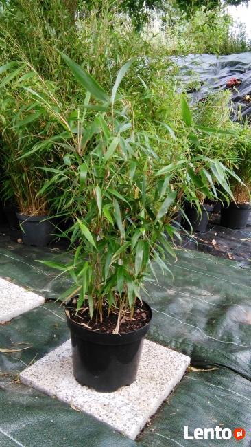 Bambus Fargesia Robusta Pingwu 5L 60-80cm Bambusy Kraków