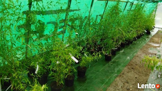 Bambus Phyllostachys aureosulcata f.aureocaulis 3L 100-125cm