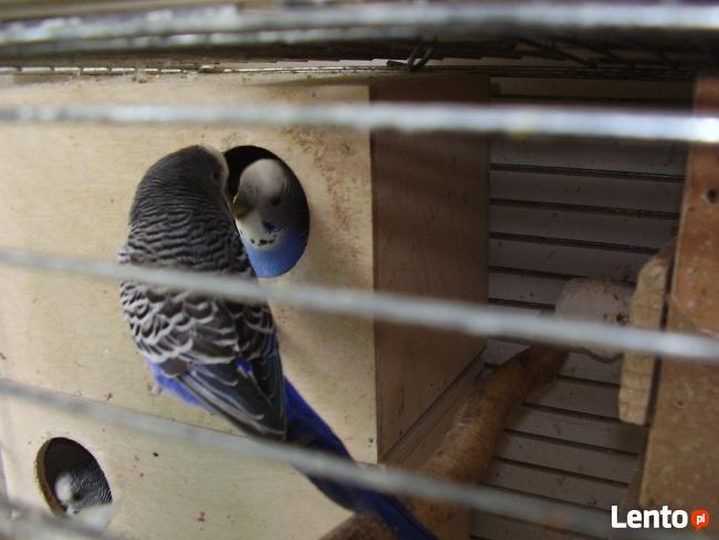 Papugi faliste fioletowe sprzedam.