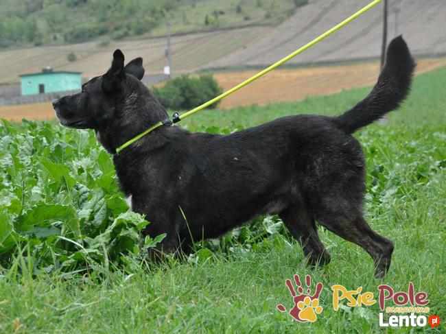 FRIŚ-Duży , wesoły, energiczny, pręgowany psiak do adopcji