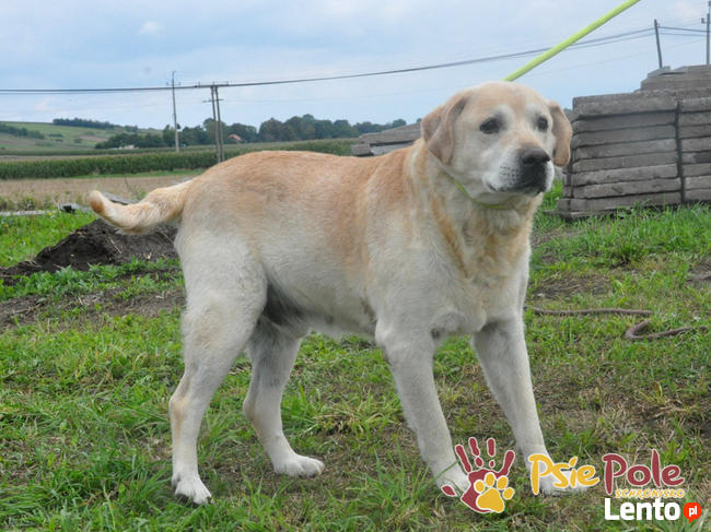MECENAS-prze-kochany labrador do adopcji. Psiak w schronisku