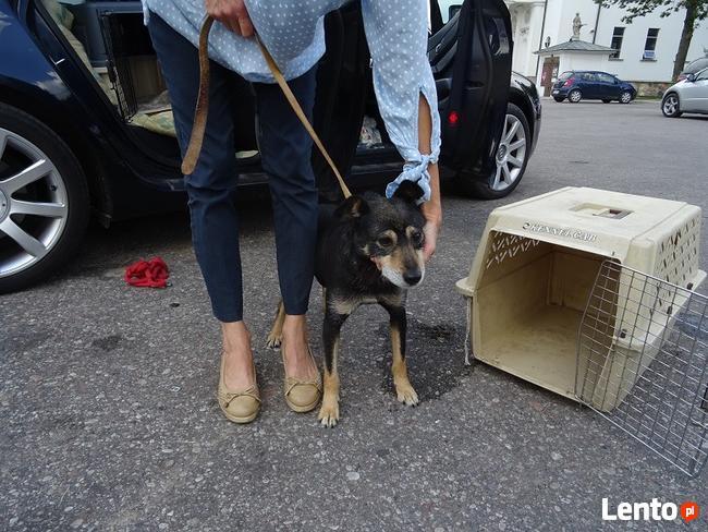 Starszy psiak pilnie szuka domu tymczasowgo lub stałego