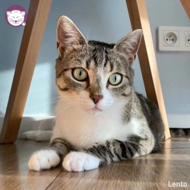 Solinka - kot domowy czy manul