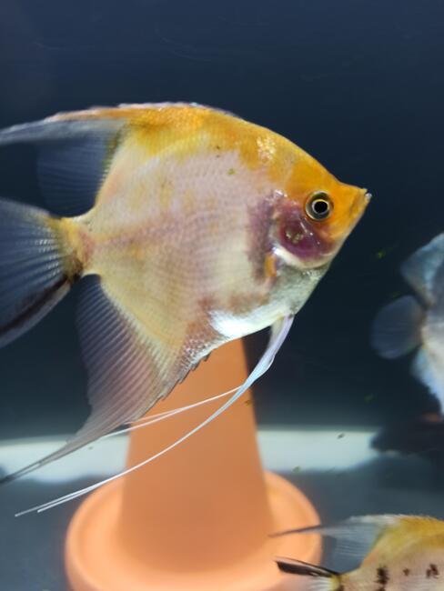 Ryby Skalary