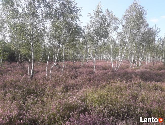 Rynia gmina Dobre sprzedam działkę leśną