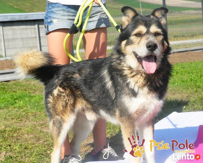 BESKID-Przepiękny, dostojny, wesoły i energiczny pies,adopcj