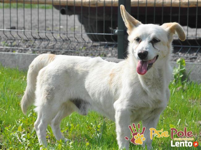 OPAL-niewielki biały psiak;spokojny, grzeczny, niedosłyszący