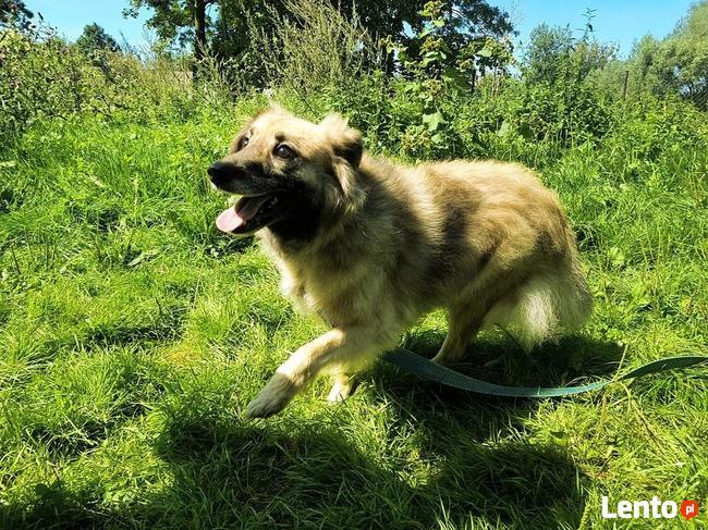 Grey przepiękny pies szuka domu