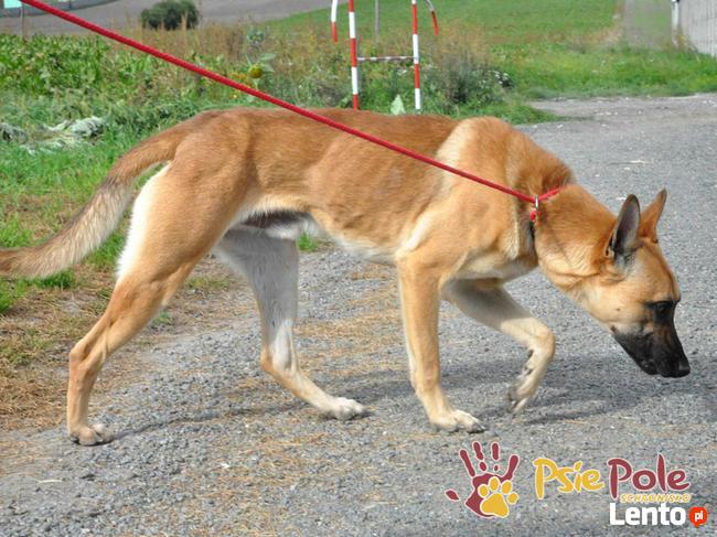 SELEN-przepiękny, wspaniały, wesoły pies, owczarek belgijski