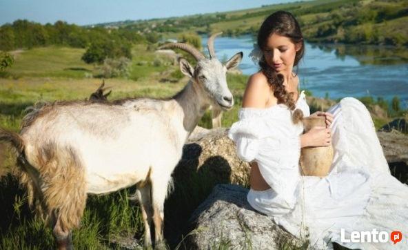 Ukraina. Stada krow, owiec, koz 4 zl/kg. Farma mleczna,PGRy