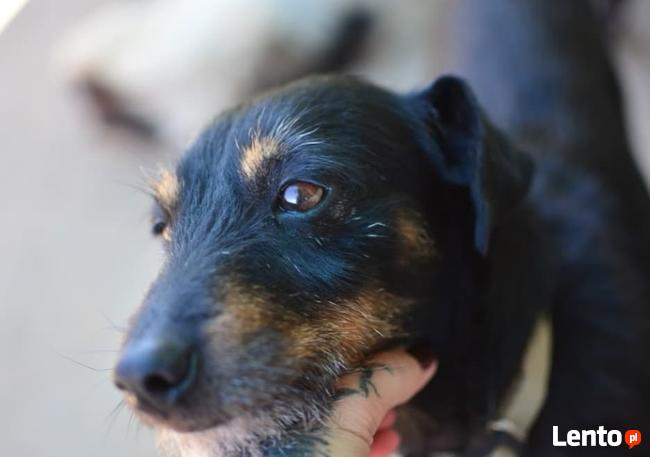 Toffi mały około 2 letni ,7kg terierek   Andżelika Moraw.