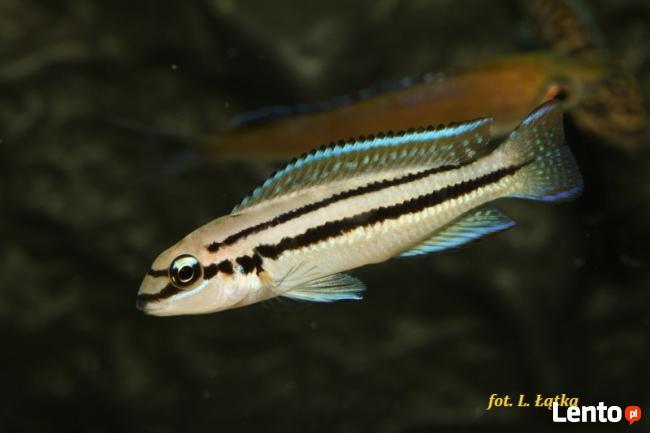 Ryby Tanganika Chalinochromis bifrenatus