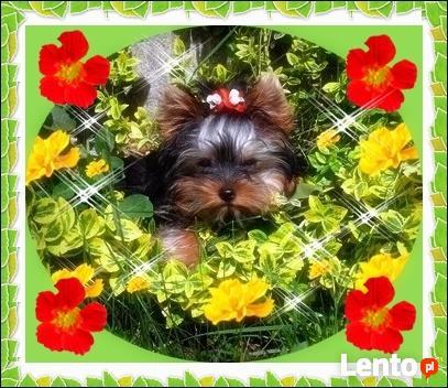 York, yorkshire terrier!!ELITARNE MICROCUDEŃKA-XXXS!Kraków-ma