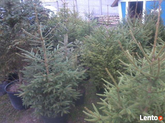choinki świąteczne- żywe