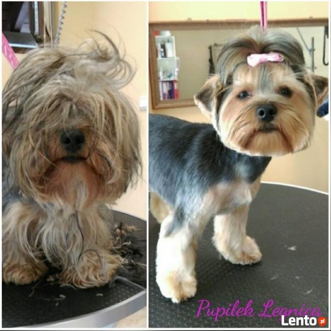 PIELĘGNACJA I STRZYŻENIE PSÓW fryzjer dla psa PUPILEK