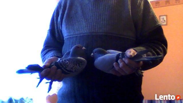 Sprzedam gołębie pocztowe oraz ozdobne